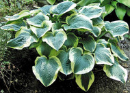 Brass Ring Hosta - 4.5 Inch Container