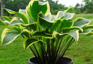 Lakeside Cranberry Relish Hosta - 4.5 Inch Container