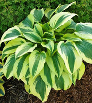 Ice Follies Hosta - 4.5 Inch Container