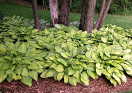 'Gold Standard' Hosta Courtesy of Walter's Gardens