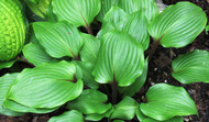 One Man's Treasure Hosta - 4.5 Inch Container