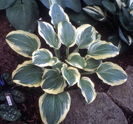 Mature Hosta 'Mack the Knife'