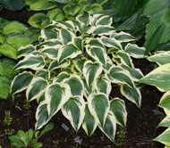 Fantabulous Hosta - 4.5 Inch Container