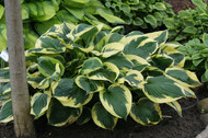 'Twilight' Hosta