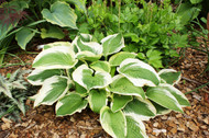 Christmas Pageant Hosta - 4.5 Inch Container