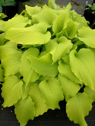 Dancing Queen Hosta - 35mm Starter Plug