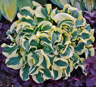'Mini Skirt' Hosta Courtesy of Walters Gardens