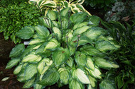 Ghost Spirit Hosta - 4.5 Inch Container