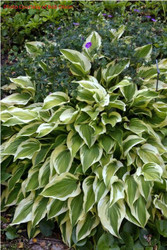 'Bob Olson' Hosta Courtesy of Bob Olson