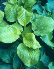 'Honey Pie' Hosta Courtesy of Green Hill Farm