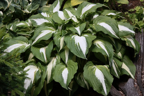Night before Christmas Hosta - Shade Perennial Large Hosta Plant