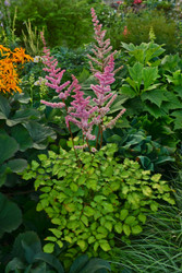 Astilbe 'Amber Moon' Courtesy of Walters Gardens
