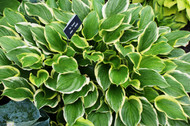 'So Sweet' Hosta From NH Hostas