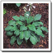 Grey Ghost Hosta - 4.5 Inch Container