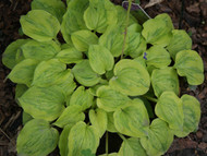Silver Threads and Golden Needles Hosta - 3 Inch Container