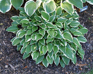Little Wonder Hosta - 3 Inch Container
