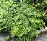 Five Finger Maidenhair Fern - 4.5 Inch Container