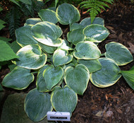 Blue Flame Hosta - 4.5 Inch Container