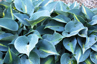 'Touch of Class' Hosta From NH Hostas