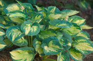 'Great Expectations' Hosta Courtesy of Walters Gardens
