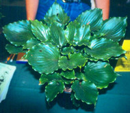 Candy Dish Hosta - 4.5 Inch Container