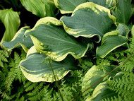 'Wheee!' Hosta Courtesy of Walters Gardens
