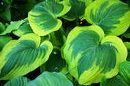 Broad Band Hosta - 4.5 Inch Container
