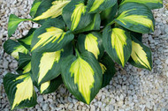 'Smash Hit' Hosta Courtesy of Q&Z Nursery
