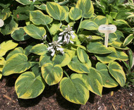 'Roberta' Hosta Courtesy of Green Hill Farm