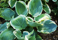 'Pizzazz' Hosta From NH Hostas