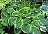 Abiqua Moonbeam Hosta From NHHostas