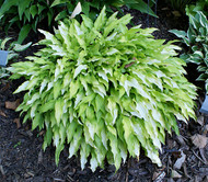 'Dragon Tails' Hosta From NH Hostas
