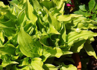 O'Harra Hosta - 3 Inch Container