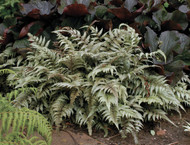 Japanese Painted Fern - 4.5 Inch Container