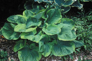 'Titanic' Hosta Courtesy of Shady Oaks Nursery