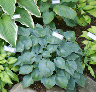 'Pewterware' Hosta From NH Hostas