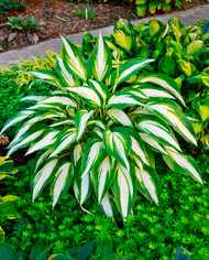 'Cool as a Cucumber' Hosta Courtesy of Walters Gardens