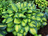 'Paradigm' Hosta From NH Hostas