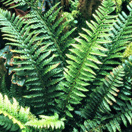 Hard Shield Fern Courtesy of Casa Flora
