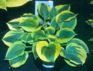Spinach Souffle Hosta - 4.5 Inch Container