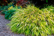 Hakonechloa macra 'All Gold' Courtesy of Walters Gardens