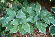 Regal Splendor Hosta Two Gallon