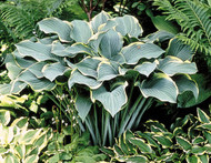'Regal Splendor' Hosta Courtesy of Walters Gardens