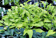 Blonde Elf Hosta - 3 Inch Container