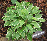 Rock Island Line Hosta - 3 Inch Container