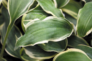 Deliverance Hosta - 4.5 Inch Container