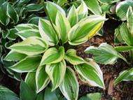 Envy Hosta - 4.5 Inch Container