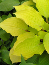 'Fire Island' Hosta Courtesy of Walters Gardens