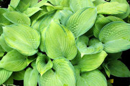 Mister Watson Hosta - 4.5 Inch Container
