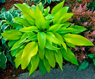 Prairie Moon Hosta - 4.5 Inch Container